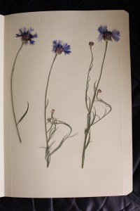 centaurea cyanus, aciano