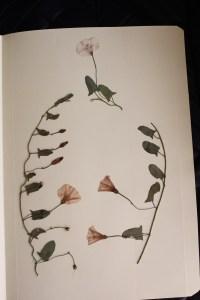 Convolvulus arvensis, correhuela