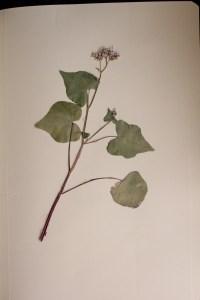 Fagopyrum esculentum, trigo sarraceno