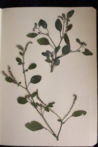 heliotropium europaeum, verrucaria