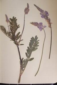 onobrychis viciifolia, esparceta