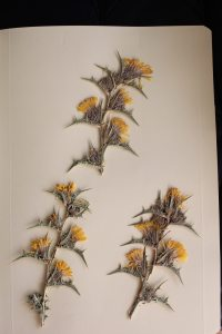 Scolymus hispanicus, cardillo
