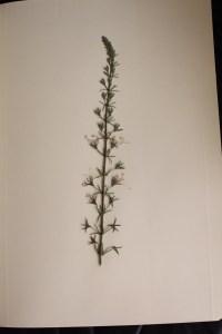 teucrium pseudochamaepitys, hierba de la cruz