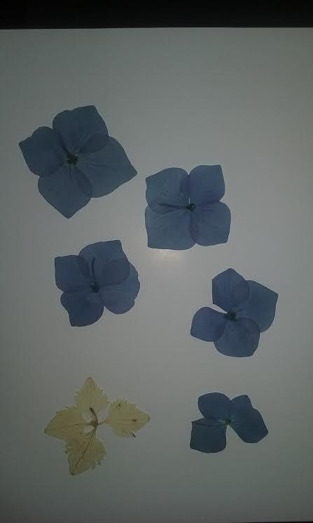Algo m s que hortensias creciendoentreflores - Como secar hortensias ...