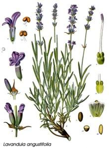 lavandula_angustifolia_schema