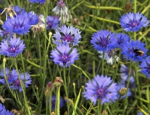 Cornflowers_(Centaurea_cyanus),_New_Holland,_North_Lincolnshire