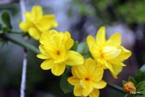 jamin amarillo