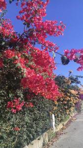 bouganwillias de colores varios
