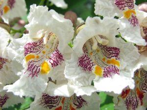 catalpa flores
