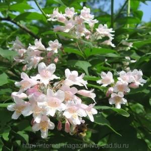 catalpa rosa