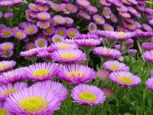 ceuta flores