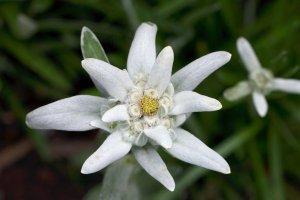edelweiss_by_red_trela-d3iiyq6