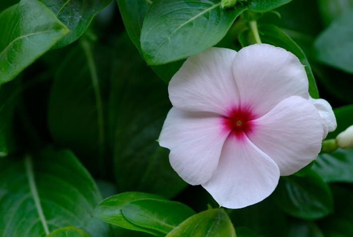 Las Flores Más Sencillas Y A Veces Olvidadas Una Impatiens En Mi