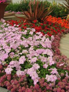 impatiens-walleriana-advantage-mix-n5080-4