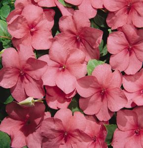 impatiens-walleriana-tempo-watermelon-n6811-1