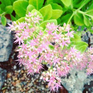 jimena jardín sedum 2