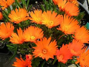 lampranthus_a_orange