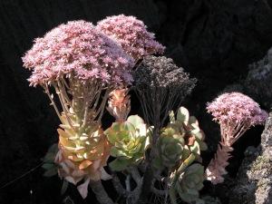 Aeonium_lancerottense2 (1)