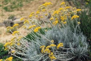 Helichrysum_italicum_ssp_serotinum_3