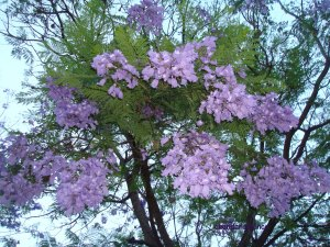 jacarandá mimosifolia flores