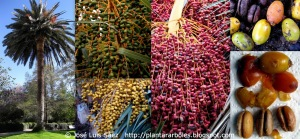 Palmera de Canarias Phoenix canariensis Frutos semillas Fruits seeds