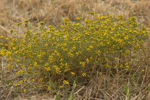tanacetum microphyllumm