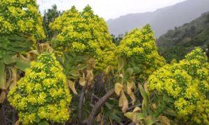 Aeonium holochrysum on El Hierro, Canary Islands
