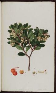 f.191: Arbutus Unedo
