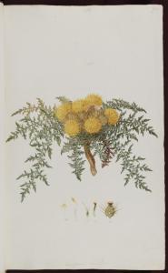 f.106: Centaurea acicularis Cyprus nov sp