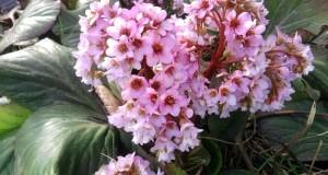 bergenia crassifolia u hortensai de invierno