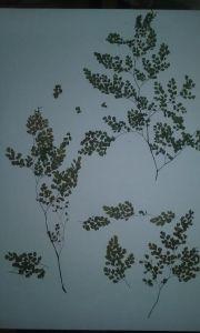 flor seca culantrillo crucero