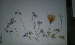 flor seca gañlería 2 aciano