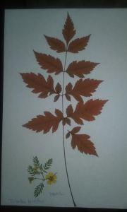 flor seca kolreuteria