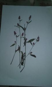 flor seca polygonum