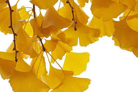 ginkgho amarillo