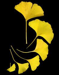 ginkgo amarillo