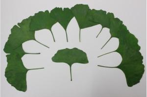 ginkgo verdes