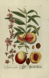 herbario melocotonero