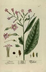 herbario nicotiana glauca