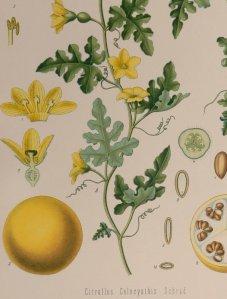 lámina botánica