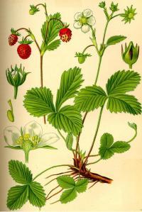 láminas botánicas fresa