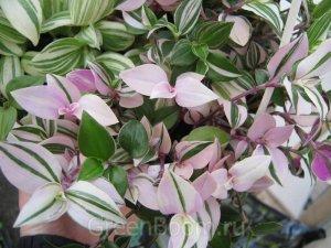 tradescantia albiflora exótica