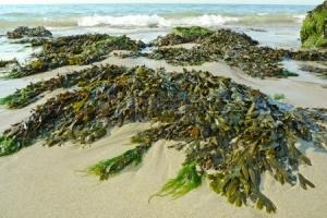 14719070-algas-verdes-en-una-playa-y-el-mar