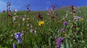 598010755-hohe-tauern-campo-de-flores-brisa-austria