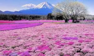9-Colina-Shibazakura-Japón