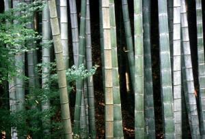 bambu_japon