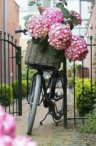 bici hortensia