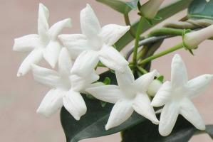 flores-india-2