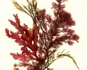 flores marinas algas 2