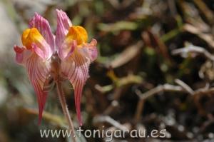 Linaria aeruginea. trobada al pla de Cuber. corresp. RAW DSC_0001